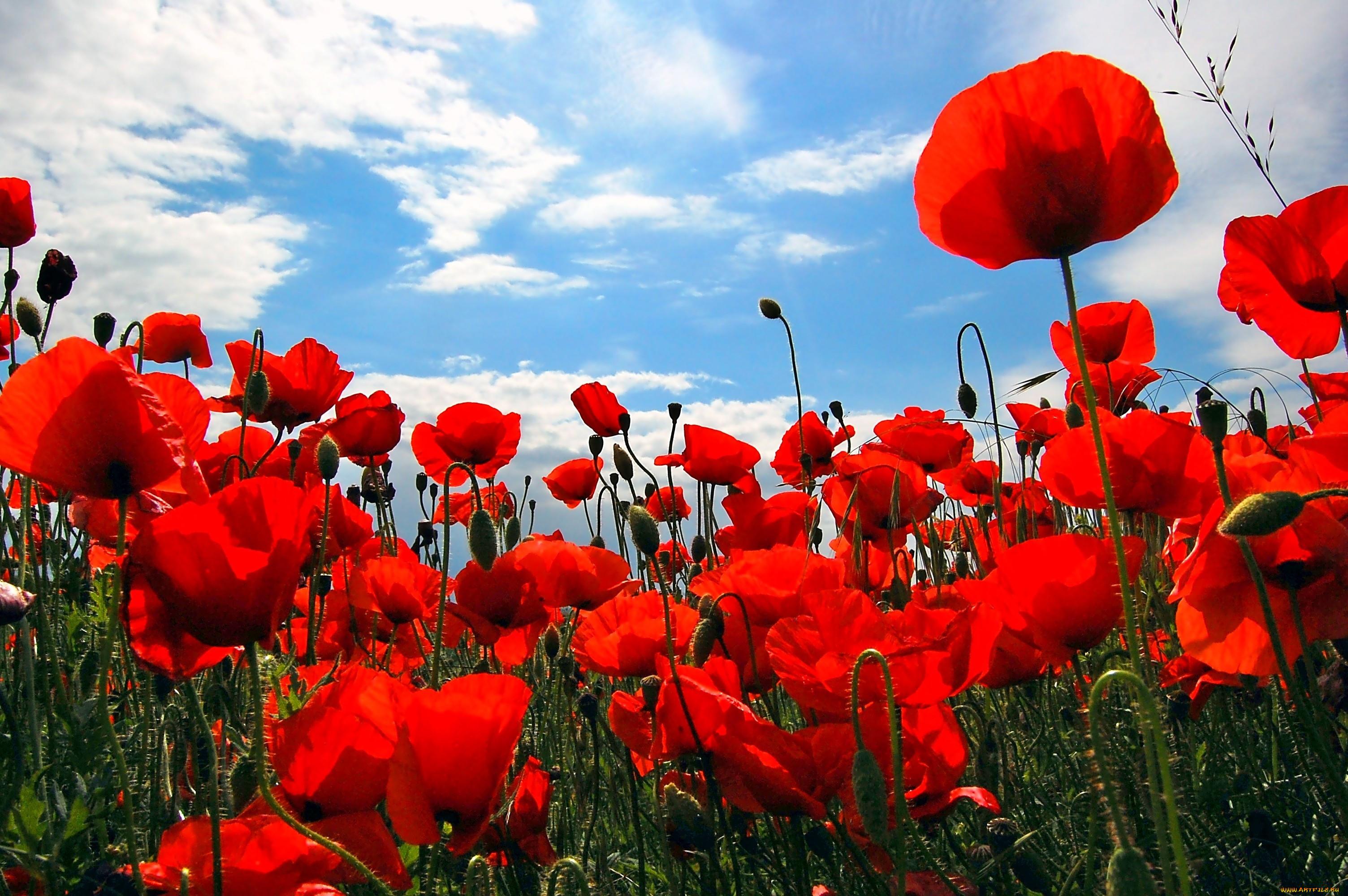 несет красные маки цветы фото днем рождения